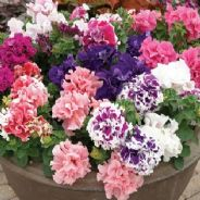 Petunia F1 Pirouette Mix - 35 Pelleted seeds
